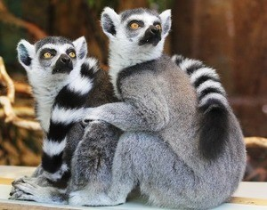 JVZoo Lemurs